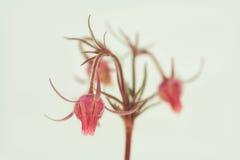 Drie bloeiden Avens Royalty-vrije Stock Fotografie