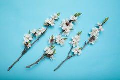 Drie bloeiende abrikozentakken op een blauwe achtergrond royalty-vrije stock afbeeldingen
