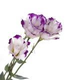 Drie bloemen met lilac bloemblaadjes Stock Fotografie
