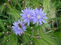 Drie bloemen van blauwe sla Stock Foto
