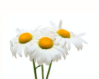 Drie bloemen van de Kamille stock foto