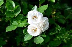 Drie bloemen van een wit namen toe Stock Foto