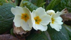 Drie bloemen van gele sleutelbloem in de tuin stock foto's