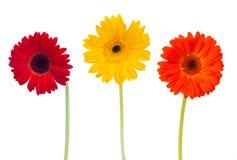 Drie bloemen van madeliefjeherbera stock afbeelding