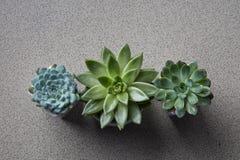 Drie bloempotten met verschillende installaties Succulents Echeveria Stock Foto's
