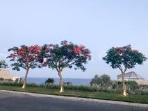 Drie brandbomen met groene bladeren en rode die bloemen door de ventilators in de avond op de achtergrond van het overzees in een Royalty-vrije Stock Afbeelding