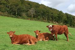 Drie Bruine Koeien Stock Afbeeldingen