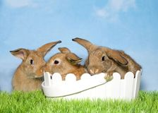Drie bruine konijntjes op gras twee in Pasen-mand royalty-vrije stock foto