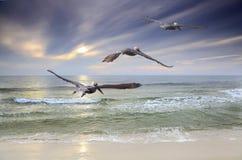Drie Bruine Pelikaanvlieg naar de Zonsondergang stock fotografie