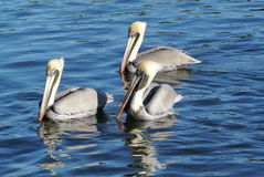 Drie bruine pelikanen Stock Fotografie