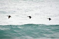 Drie bruine pelikanen vliegen in een peul stock foto's
