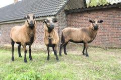 Drie bruine schapen Royalty-vrije Stock Afbeelding