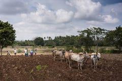 Drie buffelsparen die ploegen, Karnataka, India trekken Stock Foto