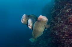 Drie bumpheadpapegaaivissen Stock Foto's