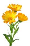 Drie calendulabloemen Royalty-vrije Stock Afbeeldingen