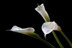 Drie calla lelies Royalty-vrije Stock Foto's