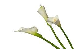 Drie calla lelies Royalty-vrije Stock Foto