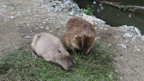 Drie Capybaras die het gras eten stock videobeelden