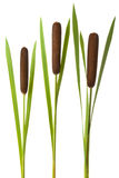 Drie cattailstelen met maïskolven Stock Afbeelding