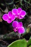 Drie cerise bloem in het regenwoud royalty-vrije stock afbeeldingen