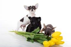 Drie chihuahuapuppy met gele tulpen royalty-vrije stock fotografie