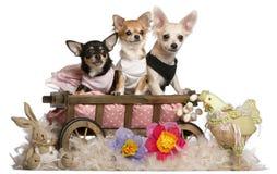 Drie Chihuahuas, 1 éénjarige, 8 maanden oud royalty-vrije stock foto's