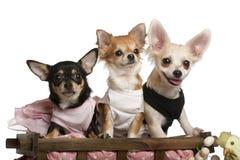 Drie Chihuahuas, 1 éénjarige, 8 maanden oud stock afbeelding