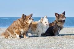 Drie chihuahuas royalty-vrije stock fotografie