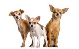 Drie Chihuahuas standind royalty-vrije stock afbeeldingen