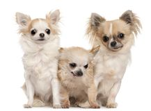 Drie Chihuahuas zitting voor witte achtergrond royalty-vrije stock afbeeldingen
