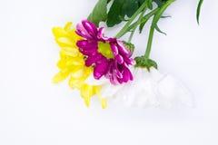 Drie chrysanten doorboren en gele en witte dichte omhooggaande macro Stock Fotografie