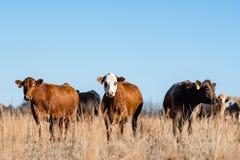 Drie commerciële vleeskoeien in de winterweiland stock afbeelding