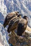 Drie Condors bij Colca-canionzitting, Peru, Zuid-Amerika. Dit is een condor de grootste vliegende vogel royalty-vrije stock afbeelding