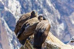 Drie Condors bij Colca-canionzitting, Peru, Zuid-Amerika. Dit is een condor de grootste vliegende vogel stock fotografie