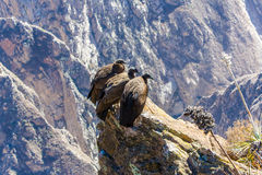 Drie Condors bij Colca-canionzitting, Peru, Zuid-Amerika. Dit is een condor de grootste vliegende vogel royalty-vrije stock foto's