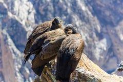 Drie Condors bij Colca-canionzitting, Peru, Zuid-Amerika. Dit is een condor de grootste vliegende vogel stock foto