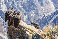 Drie Condors bij Colca-canionzitting, Peru, Zuid-Amerika Dit is een condor de grootste vliegende vogel ter wereld Stock Foto
