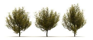 Drie Cornus Mas Tree royalty-vrije illustratie