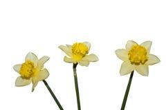 Drie de lentebloemen Stock Foto