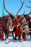 Drie deers van het schoonheidsnoorden Royalty-vrije Stock Foto