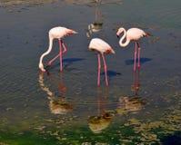 Drie die flamingo's in water worden weerspiegeld, die tot cirkelwatergolf leiden Stock Afbeeldingen