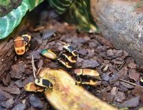 Drie die insecten van de taxicabine ook als de insecten die van Pachnoda worden bekend Marginata bovenop elkaar beklimmen stock afbeeldingen