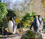 Drie die Koning Penguins voor een gang ongeveer gaan stock afbeeldingen