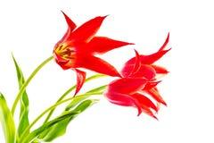 Drie die tulpen op witte achtergrond worden geïsoleerd Stock Fotografie