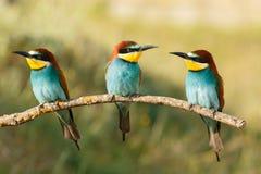 Drie die vogels op een tak worden neergestreken Stock Foto