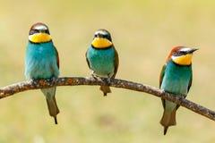 Drie die vogels op een tak worden neergestreken Stock Foto's