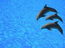 Drie dolfijnen Royalty-vrije Stock Afbeeldingen