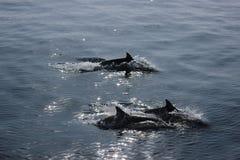 Drie dolfijnen Stock Afbeeldingen