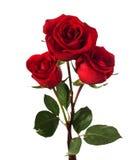 Drie donkerrode rozen Stock Afbeeldingen