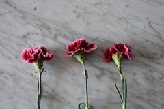 Drie dramatische roze anjers royalty-vrije stock fotografie